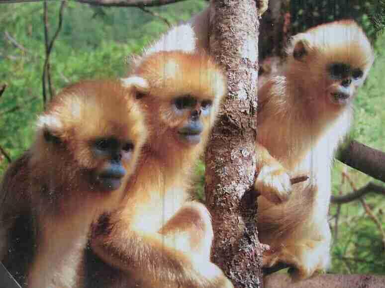 金丝猴是几级保护动物