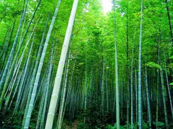 风光旖旎的中国茶山竹海—国家森林公园